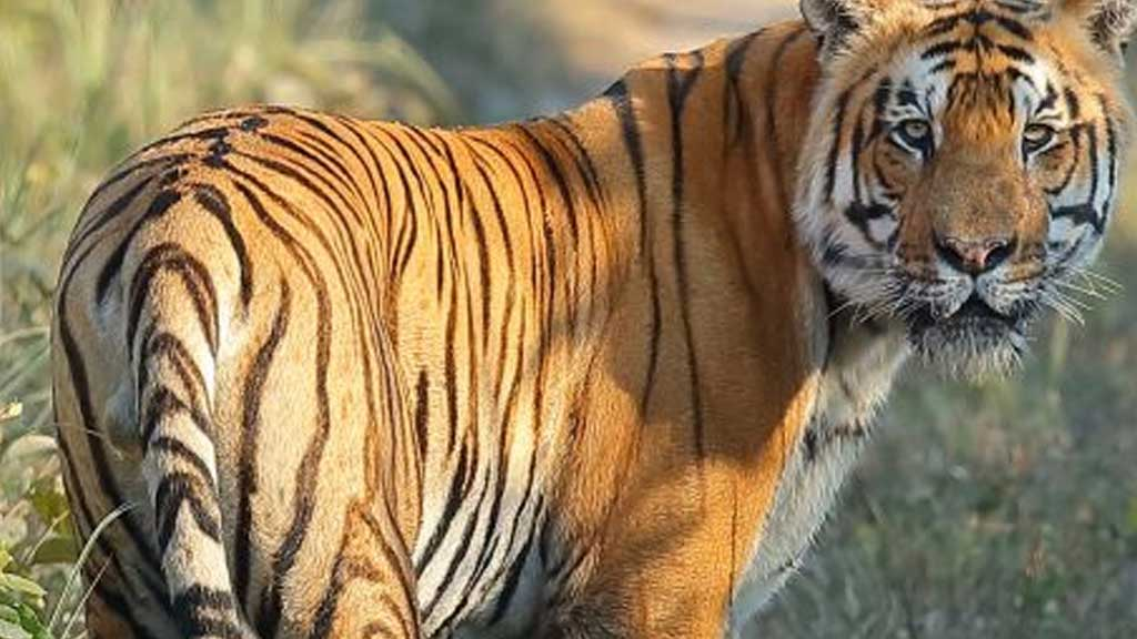 tiger, animal