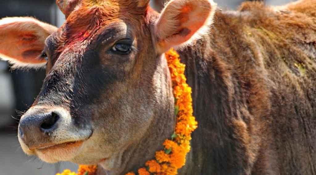 यमपञ्चकको चौथो दिन :गरियो गाई, गोरु र कृषक पूजा
