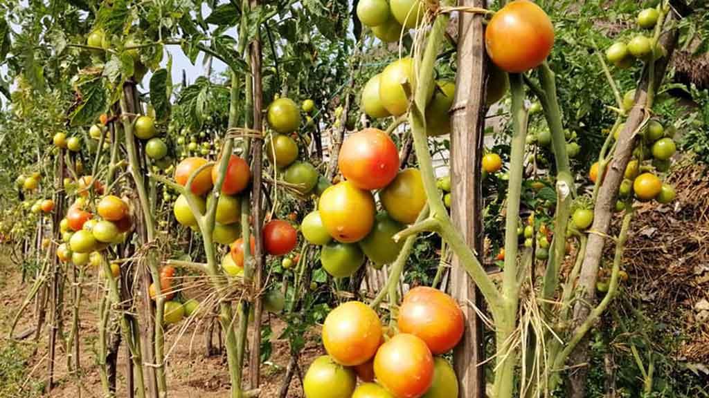 तरकारी खेती, Vegetable farming, tometo - The Times Of Nepal