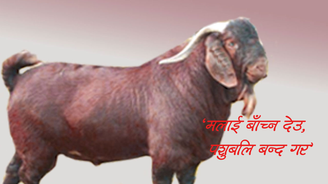खसीबोका, goat, dashain - the times of nepal