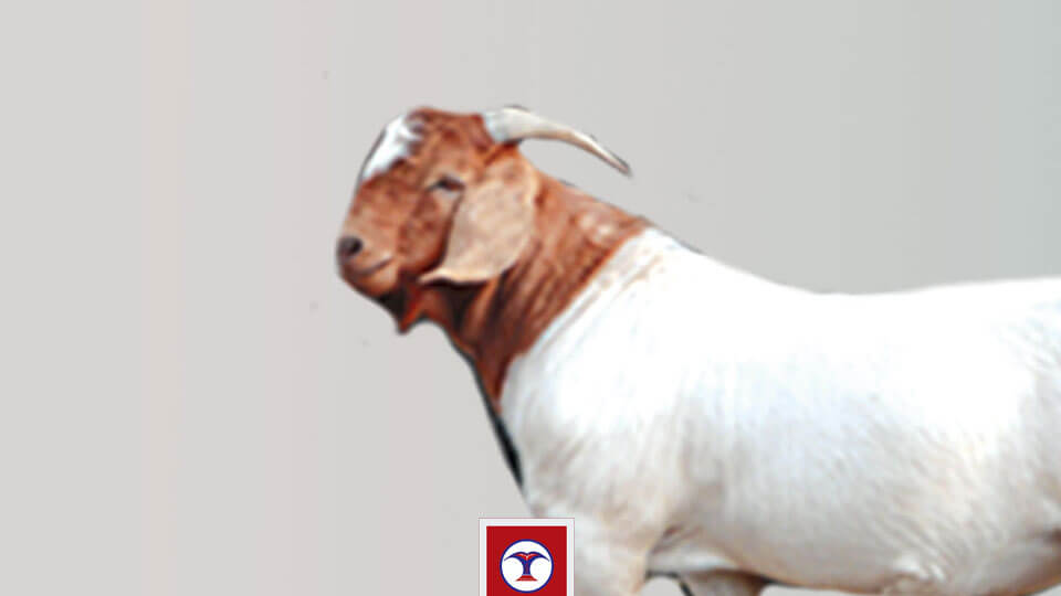 खसीबोका, goat, dashain - the times of nepal